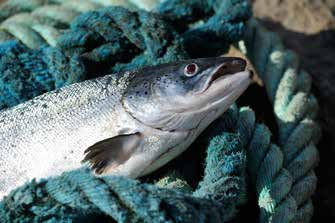 Working with nature, Irish farmed salmon quality standards, ISPG_FISH